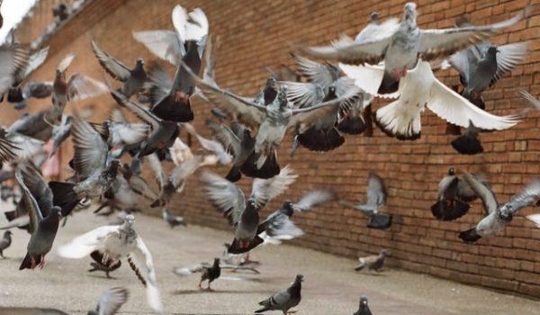 Prodhyg 38 traitement destruction nid de pigeon grenoble isère